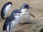 Fairy Penguins on Phillip Island